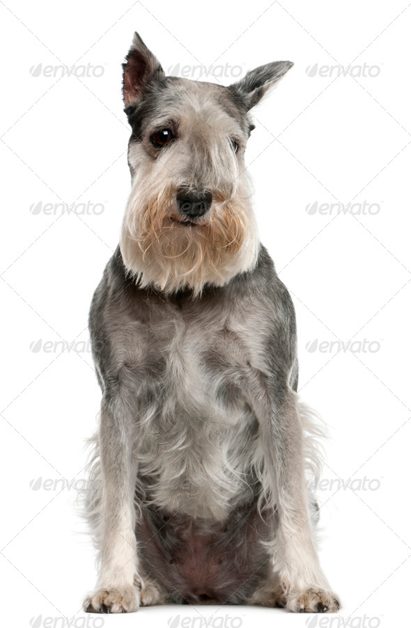 Standard Schnauzer, 7 years old, sitting in front of white background - Stock Photo - Images
