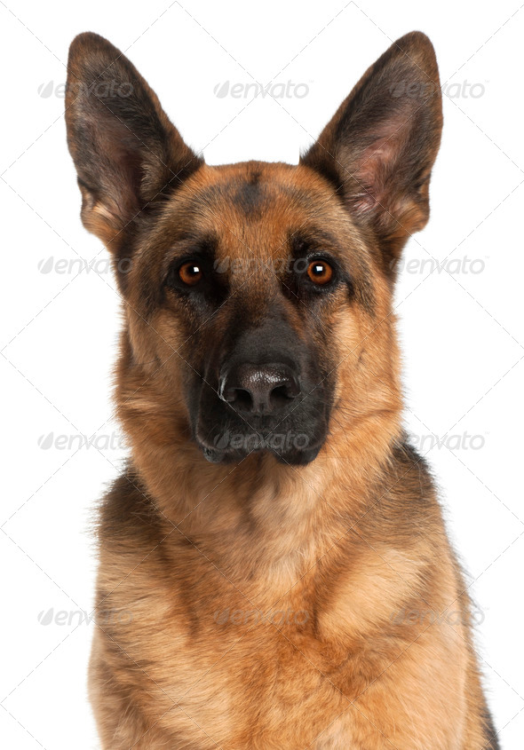 Close-up of German Shepherd Dog, 4 years old, in front of white background - Stock Photo - Images
