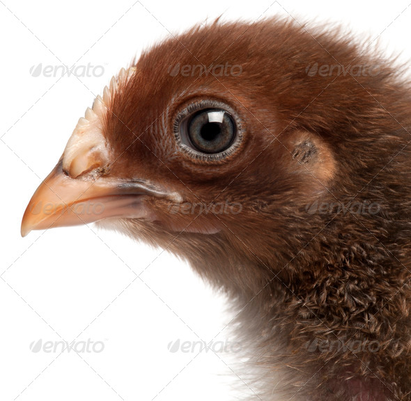 Close-up of Orpington, a breed of chicken, 3 weeks old, in front of white background - Stock Photo - Images