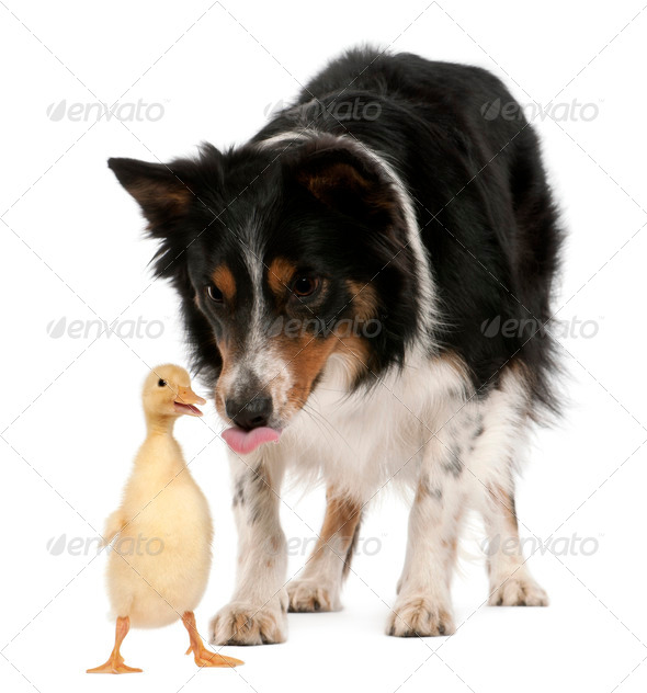 Female Border Collie, 3 years old, playing with duckling, 1 week old, in front of white background - Stock Photo - Images