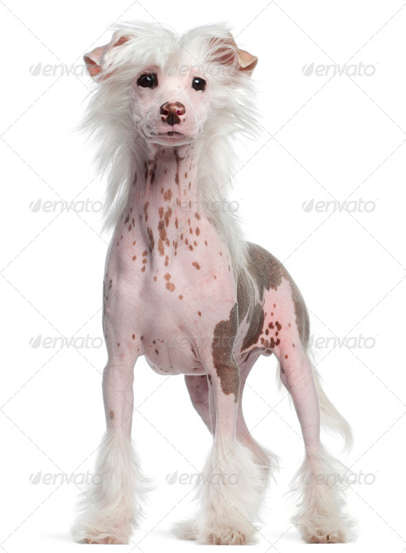 Chinese Crested dog, 4 months old, standing in front of white background - Stock Photo - Images