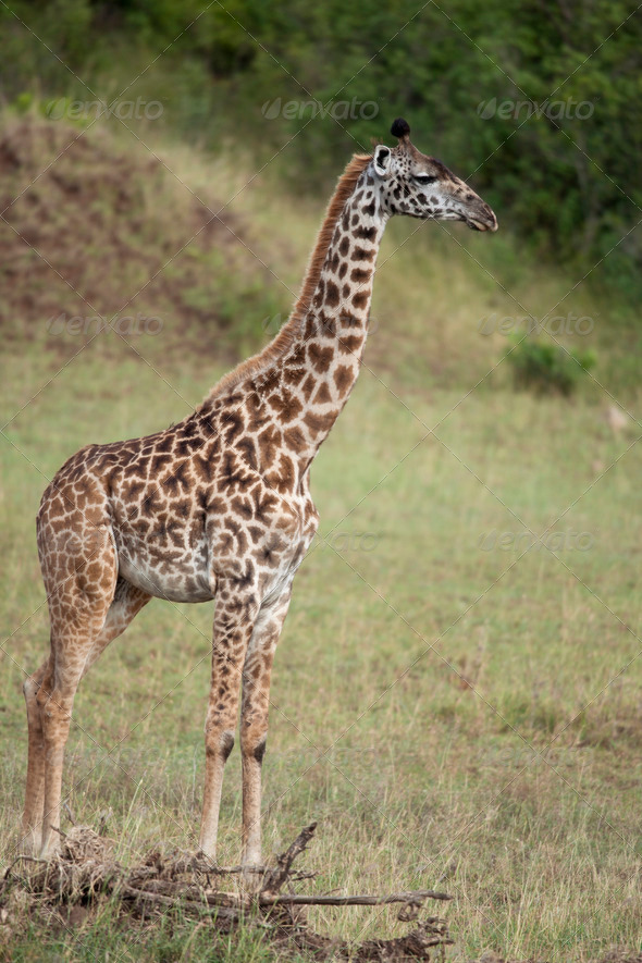 Giraffe in Serengeti National Park, Tanzania, Africa - Stock Photo - Images
