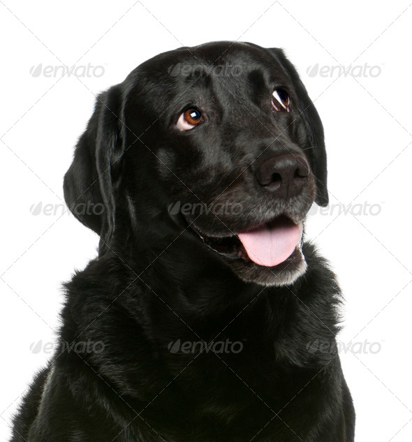 Close-up of Labrador Retriever, 8 years old, in front of white background - Stock Photo - Images