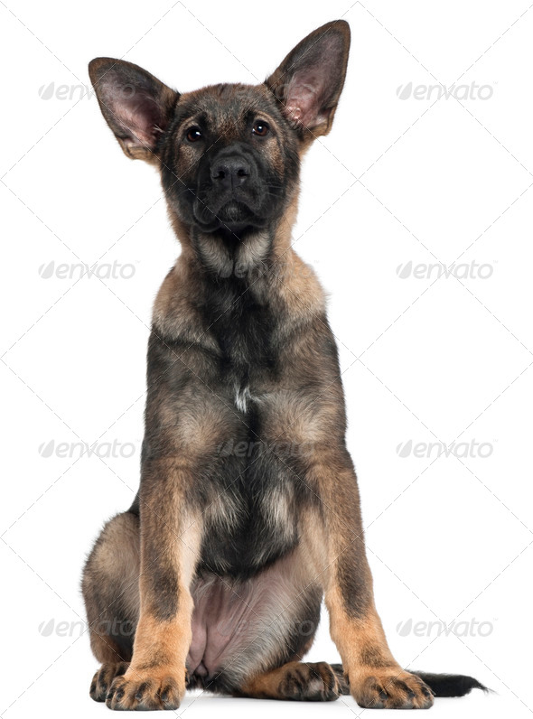 German Shepherd puppy, 3 months old, sitting in front of white background - Stock Photo - Images