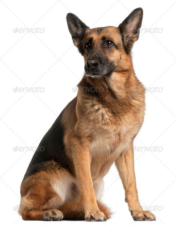 German Shepherd Dog, 10 years old, sitting in front of white background - Stock Photo - Images