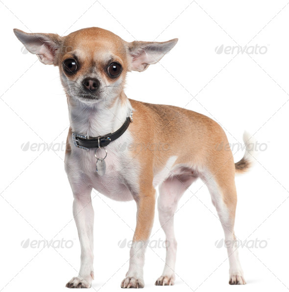 Chihuahua, 3 years old, standing in front of white background - Stock Photo - Images
