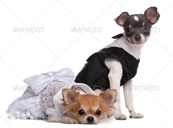 Two Chihuahuas dressed-up in front of white background - Stock Photo - Images