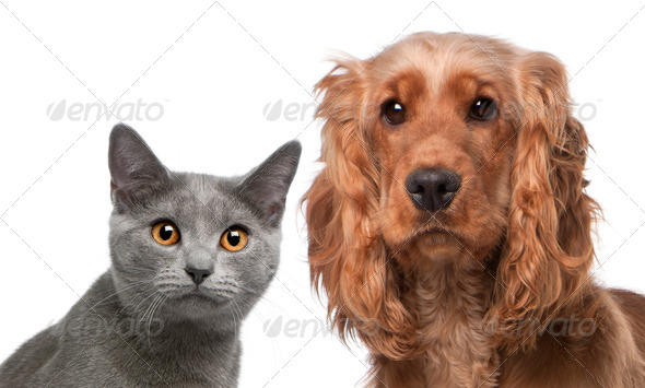 Chartreux cat, 5 months old, and a English Cocker Spaniel, 2 years old, in front of white background - Stock Photo - Images
