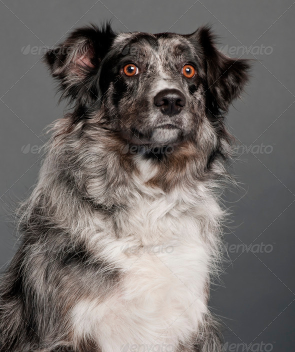 Border Collie (2 years old) - Stock Photo - Images