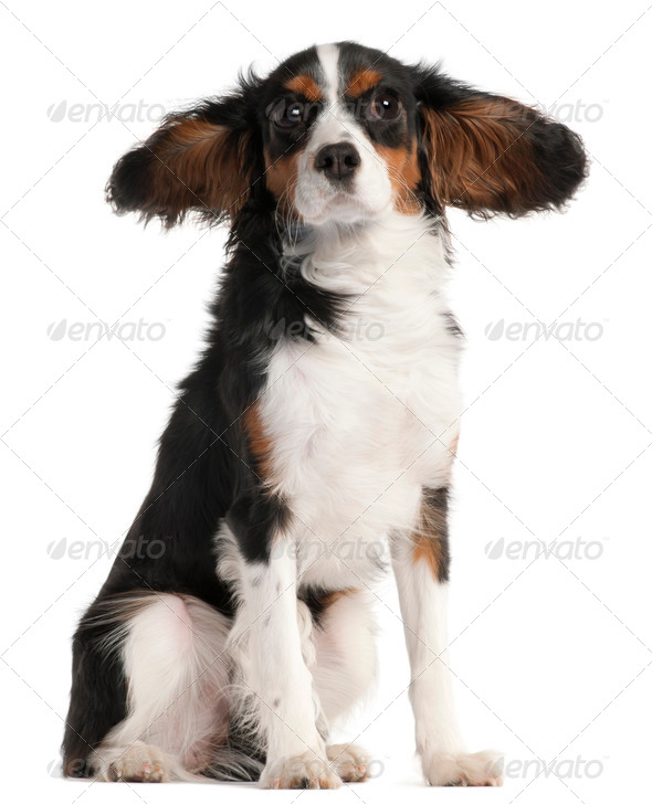 Cavalier King Charles Spaniel, 7 months old, with hair in the wind in front of white background - Stock Photo - Images