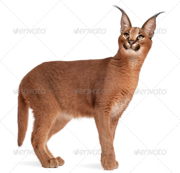 Caracal, Caracal caracal, 6 months old, in front of white background - Stock Photo - Images
