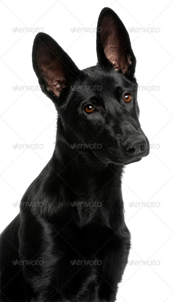 Close-up of German Shepherd puppy, 5 months old, in front of white background - Stock Photo - Images
