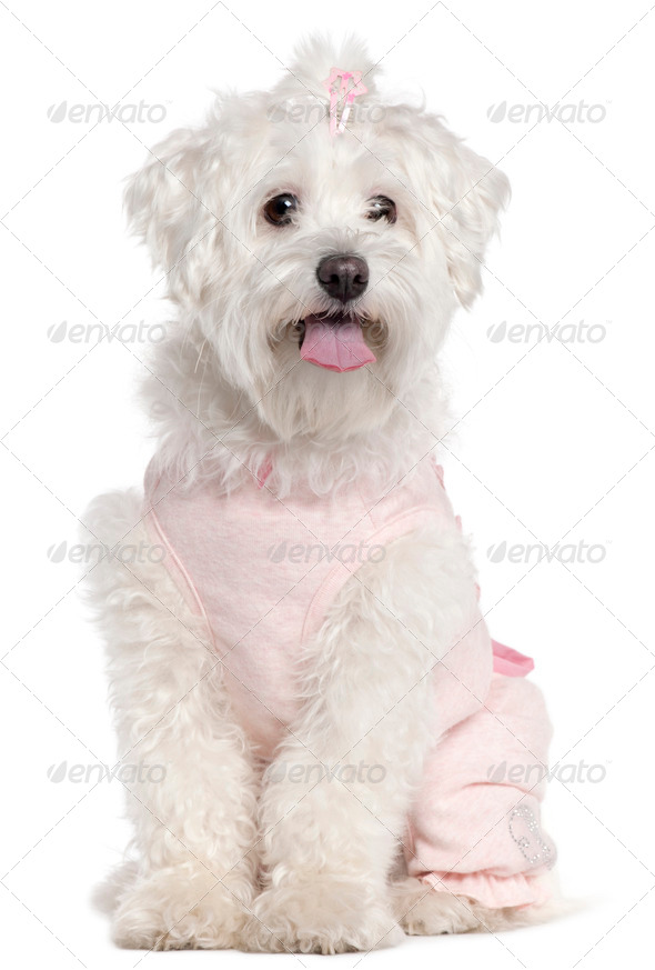 Maltese wearing pink, 3 years old, sitting in front of white background - Stock Photo - Images