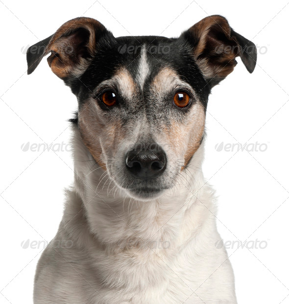 Close-up of Jack Russell Terrier, 12 years old, in front of white background - Stock Photo - Images