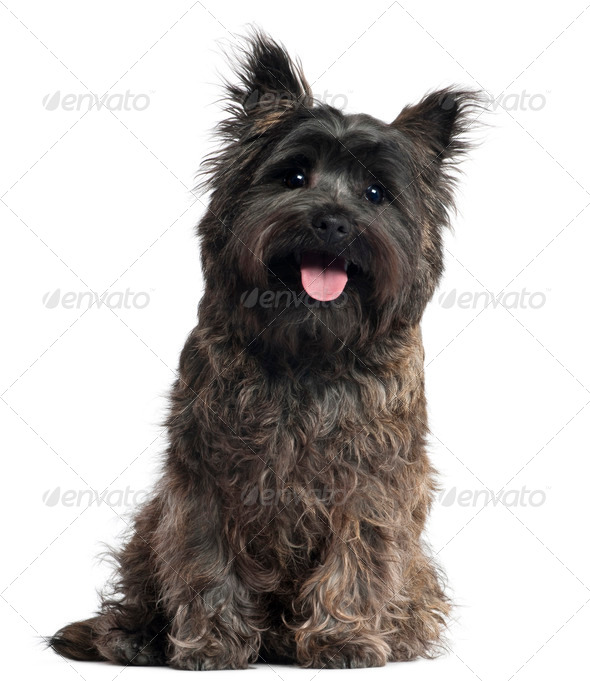 Cairn Terrier, 8 months old, sitting in front of white background - Stock Photo - Images