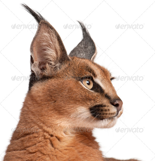 Close-up of Caracal, Caracal caracal, 6 months old, in front of white background - Stock Photo - Images