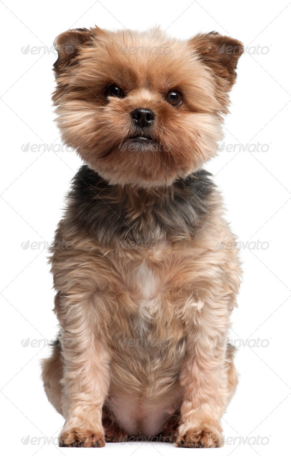 Yorkshire Terrier, 7 years old, sitting in front of white background - Stock Photo - Images