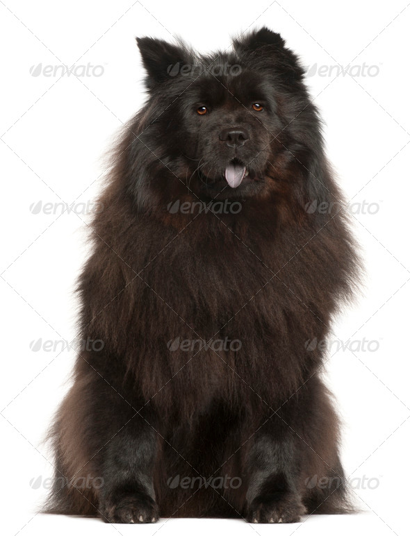 Chow Chow, 2 years old, sitting in front of white background - Stock Photo - Images