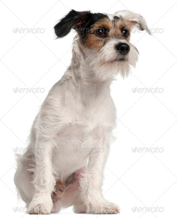 Fox Terrier puppy, 6 months old, sitting in front of white background - Stock Photo - Images