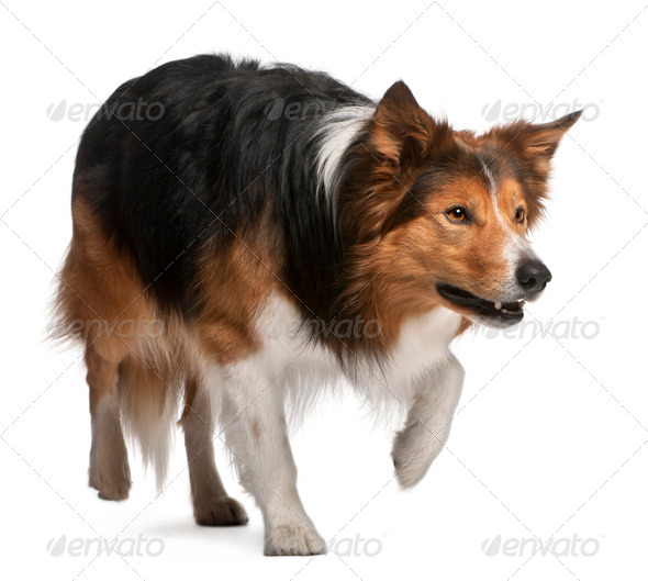 Male Border Collie, 3 years old, standing in front of white background - Stock Photo - Images