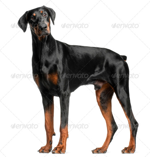 Doberman Pinscher, 13 months old, standing in front of white background - Stock Photo - Images