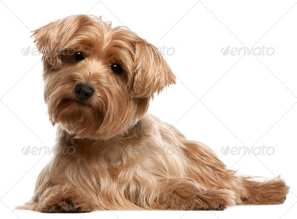 Yorkshire Terrier, 14 years old, lying in front of white background - Stock Photo - Images