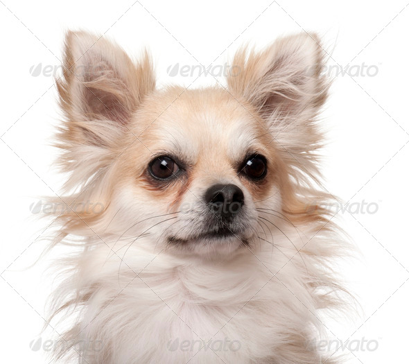 Close-up of Chihuahua, 2 years old, in front of white background - Stock Photo - Images