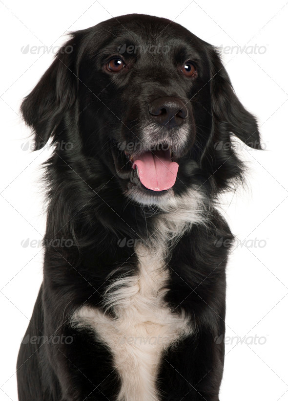 Close-up of Border Collie, 4 years old, in front of white background - Stock Photo - Images