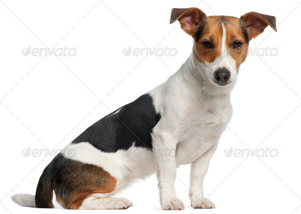 Jack Russell Terrier, 12 months old, sitting in front of white background - Stock Photo - Images