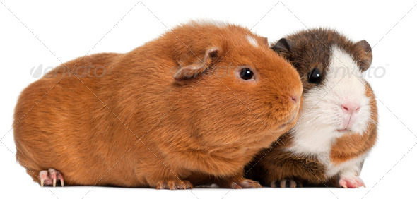 Guinea pigs, 9 months old, in front of white background - Stock Photo - Images
