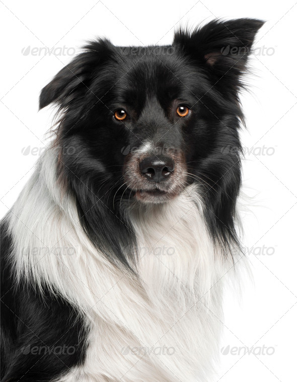 Close-up of Border Collie, 3 and a half years old, in front of white background - Stock Photo - Images