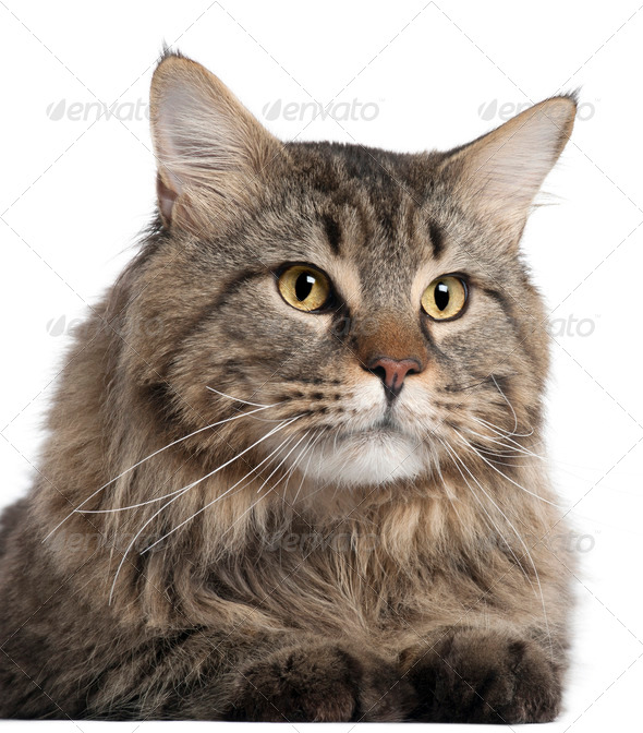 Close-up of Maine Coon, 2 years old, in front of white background - Stock Photo - Images