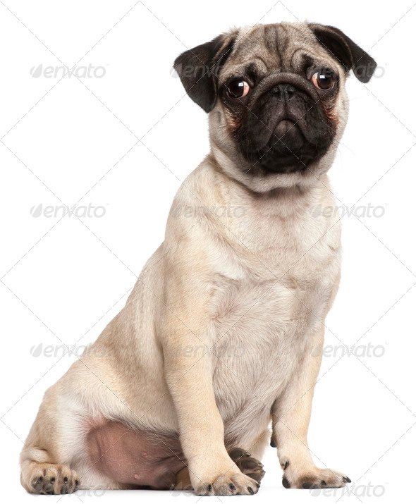 Pug puppy, 3 months old, sitting in front of white background - Stock Photo - Images