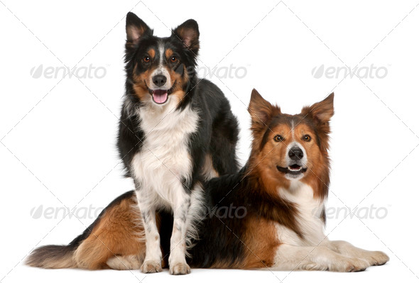 Male Border Collie, 7 years old, Female Border Collie, 3 years old, in front of white background - Stock Photo - Images