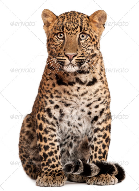 Leopard, Panthera pardus, 6 months old, sitting in front of white background - Stock Photo - Images