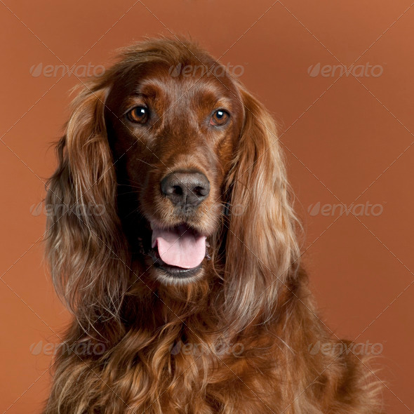 Pyrenean Shepherd (18 months old), Irish Setter (5 years old) - Stock Photo - Images