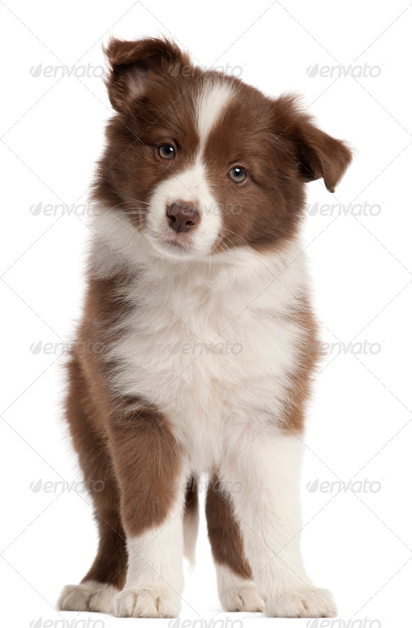 Border Collie puppy, 8 weeks old, standing in front of white background - Stock Photo - Images