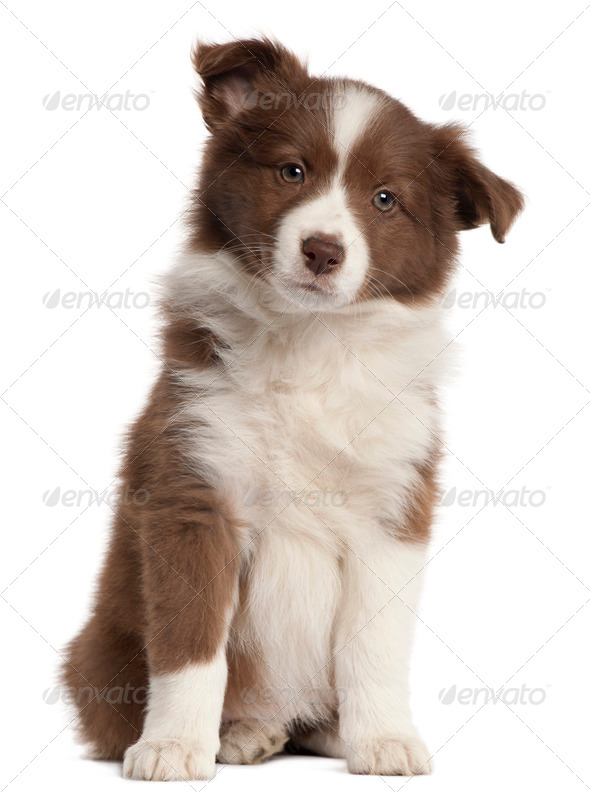 Border Collie puppy, 8 weeks old, sitting in front of white background - Stock Photo - Images