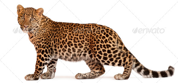 Leopard, Panthera pardus, 6 months old, standing in front of white background - Stock Photo - Images
