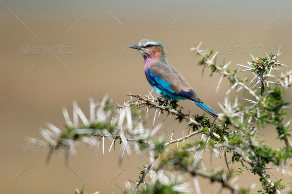 Lilac-breasted Roller, Coracias caudatus, in Serengeti National Park of Tanzania, Africa - Stock Photo - Images