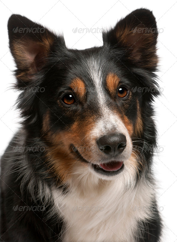 Close-up of Border Collie, in front of white background - Stock Photo - Images