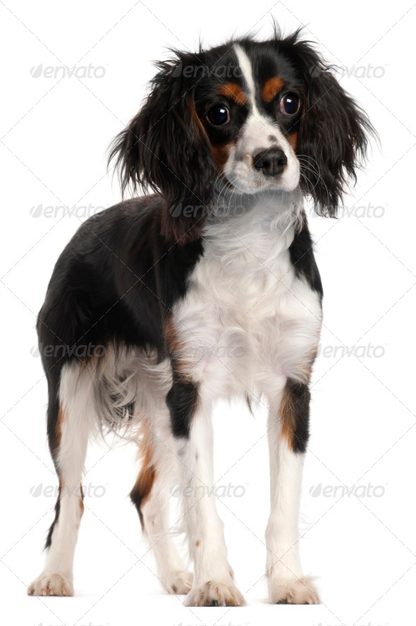Cavalier King Charles Spaniel, 7 months old, standing in front of white background - Stock Photo - Images
