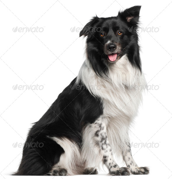 Border Collie, 3 and a half years old, sitting in front of white background - Stock Photo - Images