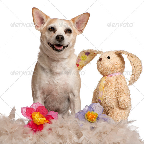 Mixed-breed dog, 8 years old, sitting with stuffed animal and flowers in front of white background - Stock Photo - Images
