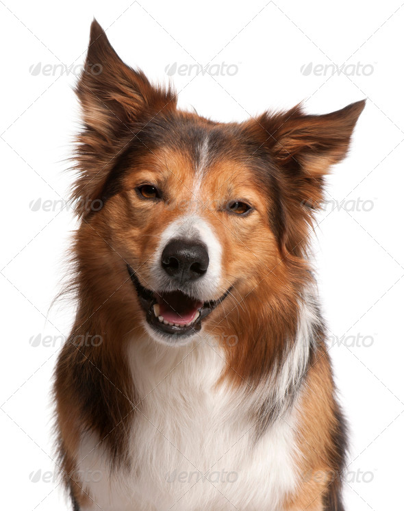 Close-up of Male Border Collie, 3 years old, in front of white background - Stock Photo - Images