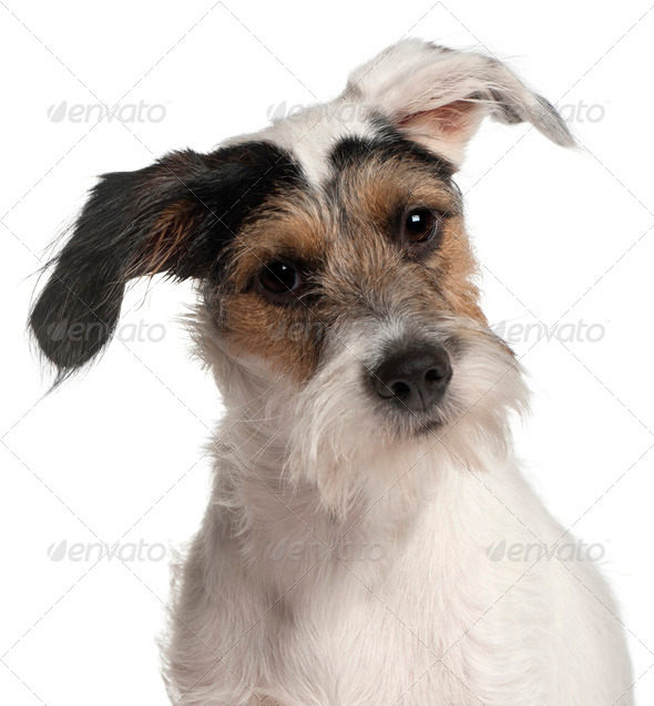 Close-up of Fox Terrier puppy, 6 months old, in front of white background - Stock Photo - Images