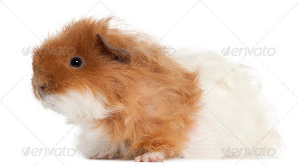 Guinea pig, 7 months old, in front of white background - Stock Photo - Images