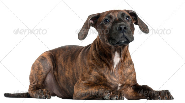 American Staffordshire Terrier puppy, 4 months old, in front of white background - Stock Photo - Images