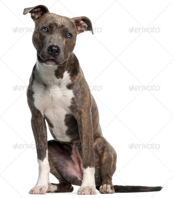 American Staffordshire Terrier, 8 months old, sitting in front of white background - Stock Photo - Images