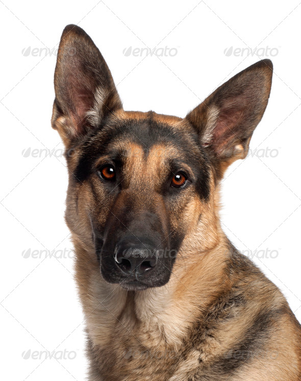 Close-up of German Shepherd Dog, 2 and a half years old, in front of white background - Stock Photo - Images